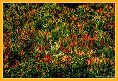 Fort de piments oiseau / Forest of hot peppers bird - Foire de l'ail et du basilic / Fair with garlic and basil (christian_lemale) Tags: foire fair ail garlic basilic basil tours touraine france nikon d7100 piment oiseau hot pepper bird hotpepperbird
