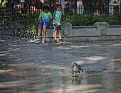 Hawk playing in the sprinkler (Goggla) Tags: nyc new york manhattan east village tompkins square park urban wildlife bird raptor red tail hawk fledgling juvenile play sprinkler stick toy summer goglog