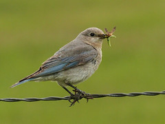 01 Collecting food for her babies (annkelliott) Tags: alberta canada swofcalgary nature ornithology avian bird birds songbird bluebird mountainbluebird sialiacurrucoides turdidae sialia female adult sideview insects insectsinbeak foodforbabies perched barbedwire fence field bokeh outdoor spring 18june2016 fz200 fz2003 annkelliott anneelliott anneelliott2016 allrightsreserved