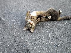 Diva (SofiDofi) Tags: summer2016 summer norge norway furdiva ise cat furry feline cutie outdoors july