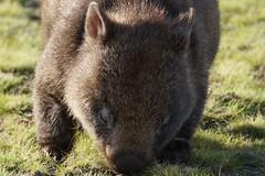 Wombat - Explored 8/8/2016 (shinbonerbaz) Tags: sony alpha a57 slt α 18250mm sal18250 minoltaamount wombat narawntapu national park tasmania australia