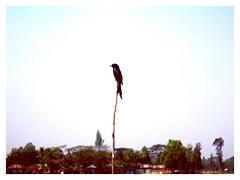 #Freedom #fly #everywhere#make #me #happy (joyoantabanik) Tags: joyoanta jb lovely beautiful black naturally bird sky bangladesh everywhere everyone fly freedom