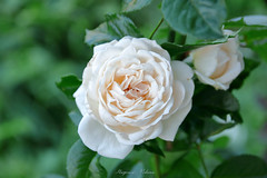 - Rose of myriad green leaves  (shig.) Tags: white gold whitegold cocker british      rose roses roze rosa flower flowers green nature natural outdoor garden plant plants canon eos 70d pastel serene