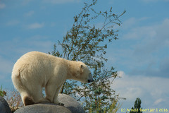 ijsberen_01 (Arnold Beettjer) Tags: wildlands emmen dierenpark dierentuin dierenparkemmen ijsbeer ijsberen polarbear