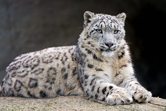 Young snow leopard posing well (Tambako the Jaguar) Tags: young lying resting portrait face snowleopard uncia fluffy big wild cat basel zoo switzerland nikon d5