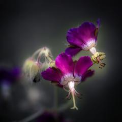 Purple Strangers (hploeckl) Tags: purple flower flowers macro nikon ploeckl color