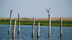 Up & Away! (DJawZ) Tags: bird seagull fly ocean bay nj pilings sunset