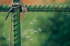 (gwilwering) Tags: bokeh closeup dandelion dof green lattice metall outdoor seeds spiderweb web        altay pavlovsk   sonya350 depthoffield