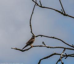 9Q6A7095 (2) (Alinbidford) Tags: alinbidford alancurtis brandonmarsh kingfisher greyheron heron kestrel