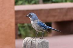 Woodhouse's Scrub Jay (psychostretch) Tags: animal aphelocomawoodhouseii bird gardenofthegods jay scrubjay woodhousesscrubjay