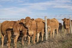 Sur le plancher des vaches **---+°-° (Titole) Tags: cows génisses fence barbedwire barbelé titole nicolefaton post sky field limousines heifers thechallengefactory 15challengeswinner