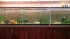 Uncle Doc's last fish room (giveawayboy) Tags: uncledoc fishroom hos harryspecht fish tropicalfish gourami killifish uncle