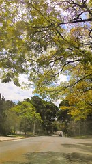 Rua sob rvores (Jos Argemiro) Tags: sol sun estrada rua alameda street sombra verde green mal lane avenue alley grove wood arvoredo mata bosque biodiversidade botnica botany biodiversity
