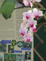 Hong Kong Flower Show 2015 香港花卉展覽 2015 (wilwilwilsonsonson) Tags: orchid flowershow 蘭花 花展 hongkongflowershow 香港花展