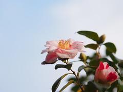 椿 (Polotaro) Tags: flower nature pen garden olympus 花 自然 zuiko 庭 3月 ペン オリンパス ズイコー mzuikodigital45mmf18 epm2