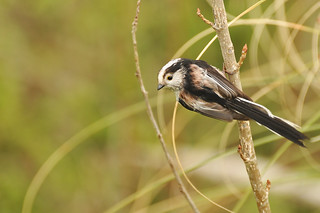 Mésange à Longue Queue - Long-Tailed Tit (Aegithalos caudatus)