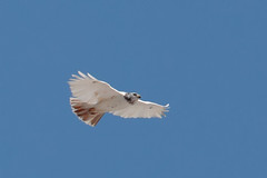Red-tailed Hawk (leucistic) - Pennsylvania (Geoff Malosh) Tags: unitedstates adult pennsylvania hawk flight redtailed redtailedhawk findlaytownship leuctistc