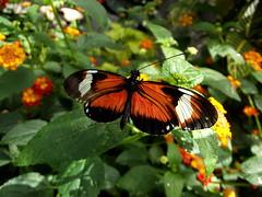 Heliconius Doris (twacar) Tags: flowers insects montreal montrealbotanicalgarden dorislongwing bugs butterfliesgofree butterflies plants mainexhibitgreenhouse