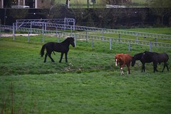 Not easy if all your girlfriends are at the other side of a ditch (Michiel2005) Tags: horse holland netherlands animal nederland excited erection dier stud paard merrie hengst erectie