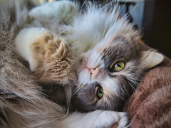 Enjoying the Day (gtncats) Tags: pet cat feline sweet cuddly siberian russian loved greatphotographers worldofanimals felinefaces photographyforrecreation canong16 canonpowershotg16 infinitexposure