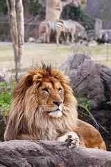 Tennoji Zoo, Osaka (jtabn99) Tags: park animal japan zoo lion zebra osaka giraffe  tennoji