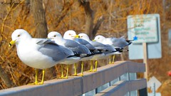 Odd man out (eddissonuk) Tags: ontario birds gulls ringed oddmanout billed