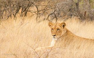 Lioness (Panthera leo) - Kruger National Park Africa