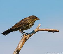 "Redwing female (v4vodka) Tags: bird nature animal wildlife birding kos birdwatching blackbird songbird redwing passerine icterid ""redwingedblackbird"" ""agelaiusphoeniceus"" ""epoletnikkrasnoskrzydly"""