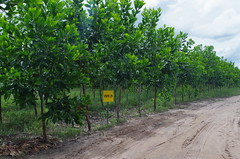 "GWD Forestry - Brazil Images <a style=""margin-left:10px; font-size:0.8em;"" href=""http://www.flickr.com/photos/47172958@N02/16970408399/"" target=""_blank"">@flickr</a>"