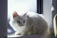 Window Sitting (Samuel Mikalonis) Tags: color cute window beautiful cat feline michiganstateuniversity michigan blueeyes kitty lansing sunny cutie east aww kc samueljonasmikalonis