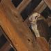 Sleeping barn owl