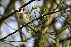 DSC_8926 (andymoore732) Tags: birds goldfinch gardenbirds commonbirds ukgardenbirds