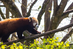 Red Panda (_alexjd) Tags: travel red wild cute travelling alex beautiful animal canon photography eos photo panda wildlife adventure stunning wilf discover cotswold alexjames discovering 600d alexjd canoneos600d