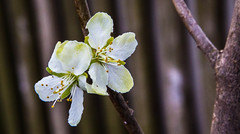 Later a sweet one (scuthography) Tags: white photo foto blossom sweet plum blossoming prune 2015 flickrglobal kathrinschild