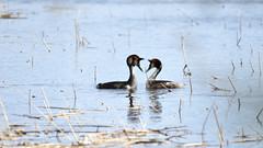 Look in lovers eyes (kartt_m) Tags: sea bird love nature water birds animal outdoors nikon wildlife pair great birding sigma lovers crested grebe podiceps cristatus 150500 d7200
