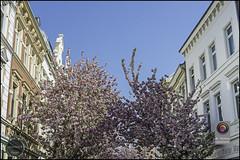 Bonn-Kirschbluete-22 (kurvenalbn) Tags: deutschland bonn pflanzen blumen nordrheinwestfalen frhling kirschbluete