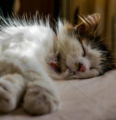 Fast Asleep (Tilly the 3-legged Cat) (Panasonic Lumix LX100) (markdbaynham) Tags: leica pet cute cat lumix feline zoom panasonic fixed ft tilly 43rd compact 3legged lx panny evf fourthird lx100 2475mm f1728