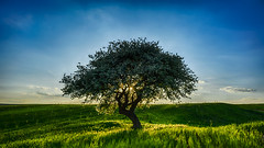 Green Mother.. (Ext-Or) Tags: blue sunset sky tree green nature turkey landscape nikon flickr mother bluesky greenland fields eurasian lonelytree greenmother d5200 flickrturkey nikonturkey nikond5200