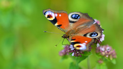 Natural beauty (Explored July 9, 2016 #483) (nyanc) Tags: travel wild summer holland color macro green eye nature netherlands beauty animal butterfly insect outside prime wings nikon perfect colorful europa europe flickr close outdoor wildlife nederland natuur sigma insects peacock zomer naturalbeauty insekt dier f28 animalia limburg vlinder kleur insecta vleugels chordata europeanpeacock unharmed d5200 earthnaturelife