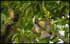 Yellow Footed Green Pigeon (bodhijobs) Tags: pigeon yellowfooted green eos ef100400mm 7d lodi garde garden delhi ndmc birds