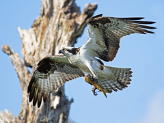 Male Osprey with Fish (Brian E Kushner) Tags: new fish bird beach nature water animals river flying nikon nest maurice wildlife birding flight 300mm ii jersey nikkor thompson osprey afs d5 pandionhaliaetus delawarebay edif nikond5 tc17 f40d bkushner thompsonbeachnj lens300mmf4nikortc17e brianekushner nikonafsnikon