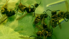 Dead Yellow Jackets (Warts and all...) Tags: dead wasp yuck yellowjacket