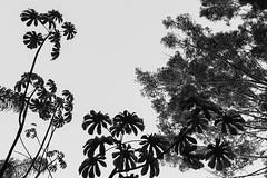 Embabas no Parque das mangabeiras-BH (Johnny Photofucker) Tags: park parque bw parco white black branco pb preto belohorizonte astratto rvore parc abstrato bianco nero rvores vegetao lightroom abstration embaba parquedasmangabeiras embabas