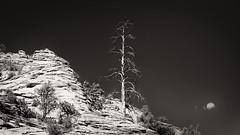 Rock, trees, and a cloud (Ed Rosack) Tags: clear rock utah landscape tree cliffs panorama sky edrosack zionnationalpark bw usa deadtree blackandwhite monochrome