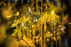 El color del verano (seguicollar) Tags: flower flor flores amarillo dorado verano virginiasegu imagencreativa photomanipulacin artedigital arte art artecreativo