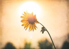 hello sunshine - 205/366 (auntneecey) Tags: sunflower sunshine 366the2016edition 3662016 day205366 23jul16 photoshop texture