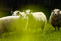 2015 05 22_0945 (fotomotiff) Tags: tiere natur schafe herde