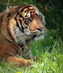 sumatran tiger blijdorp JN6A8582 (j.a.kok) Tags: blijdorp tijger tiger sumatraansetijger sumatrantiger pantheratigrissumatrea
