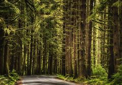 Rainforest road (waldo.posth) Tags: sony slta99v tamron f3563 28300mm di pzd 90mm rain forest road trees washington state