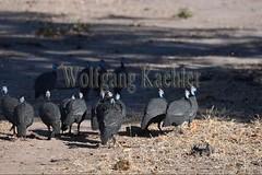 10075541 (wolfgangkaehler) Tags: africa bird african wildlife zambia guineafowl southernafrica 2016 helmetedguineafowl zambian southluangwanationalpark guineafowls helmetedguineafowls